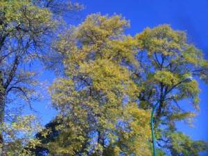 yellow_trees